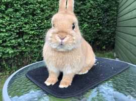 Orange Netherland Dwarf Doe
