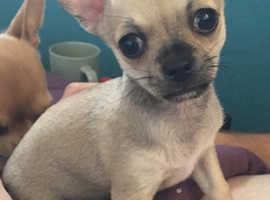Beautiful 12 week old Chihuahua puppy girl