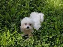 Maltese Female Puppy