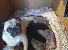 6 beautiful pug pups