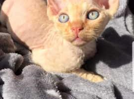 Kitten Devon Rex