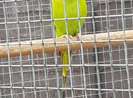 Plumhead parakeet