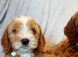 Beautiful golden Cockapoo Puppies