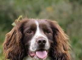 Springer Spaniel wanted for a loving home.£100-£200