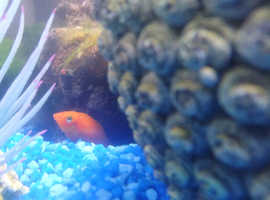 Tropical platy fish full set up