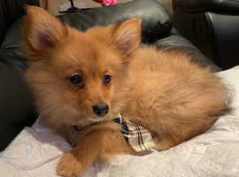 Fox Pomeranian