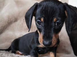 Beautiful miniature dachshund dog puppy