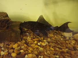 2 x Plecos, Bango catfish and Striped Raphael catfish
