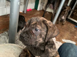 Pressa canario puppies for sale