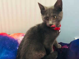 Adorable male grey kitten for sale