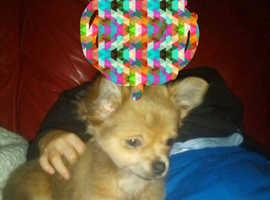 Chihuahua girl puppy