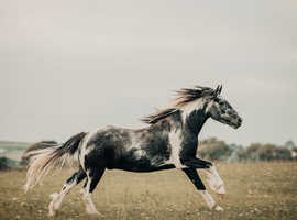 Eye-catching moorland pony for sale.