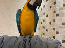 Tame blue and gold macaw