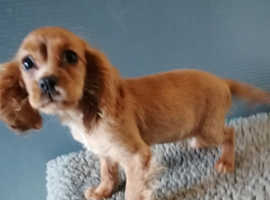 Female Cockalier puppy for sale Cocker spaniel X Cavailer