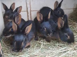 Baby belgian hares last doe!!!