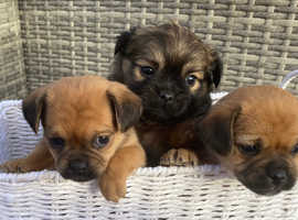 Pug Cross Border Terrier
