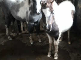 Two pretty filly foals