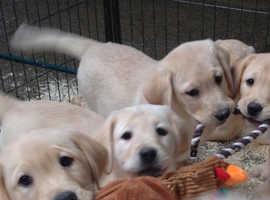 Chunky golden Labrador pups