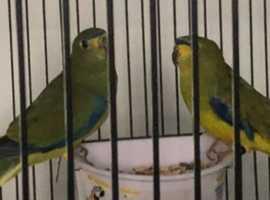 Bonded breeding pair of elegants