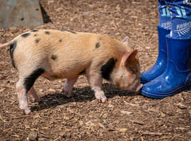 20% Off Mini Pig Keeping