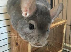 Male Violet Chinchilla