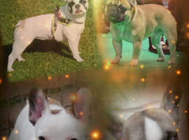 Two stunning show standard french bulldog male puppies
