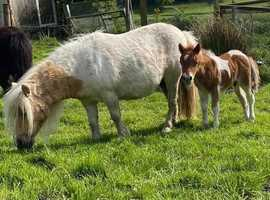 Miniature Shetland foal