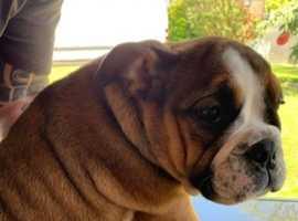 English bulldog puppy's