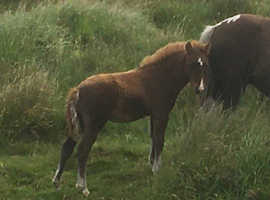 Foal - to make approx 12.2hh