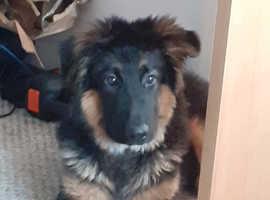 Rare Blue/Blk/Tan German Shepherd, 6mths old