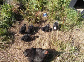 PEKIN BANTAM CHICKS OUTDOOR REARED