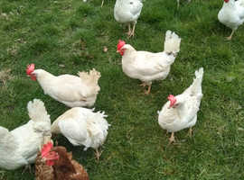 Free range laying hens for sale