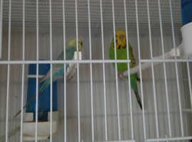 Breeding pair budgies