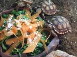 Tortoise (Sulcata)