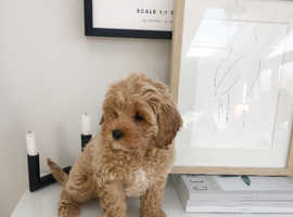 Beautiful 10 week old apricot cavapoo for sale