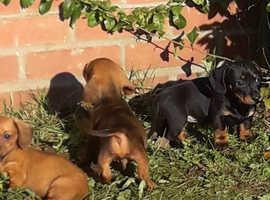 Pra clear daschund puppies