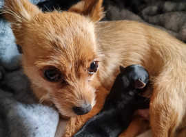 Male chorkie pup