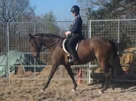 Lovely 154cm French Bred TB 6 years old