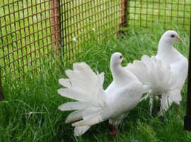 White pure fantail doves for sale