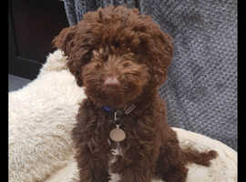 Mini chocolate brown poodle