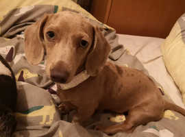 Rare Male Mini dachshund looking for a new home