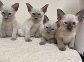 Gorgeous Siamese blue and chocolate point kittens