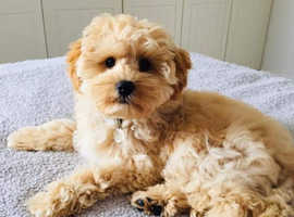 Looking for a Cavapoo