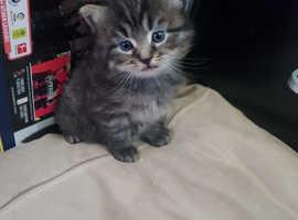 3 gorgeous kittens BSH x non standard munchkin
