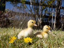 Beautiful Silver Appleyard Ducklings