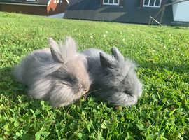 Last two pure bred mini Lionhead rabbits ready now