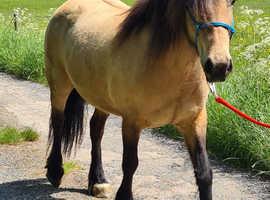 13.2hh Highland pony type mare
