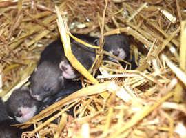 european polecat kits for sale - baldock hertfordshire