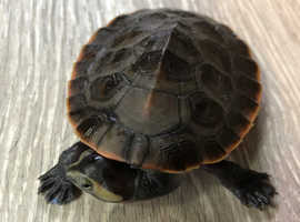 Turtle (Red Belly Side Neck)