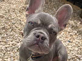 Lilac French Bulldog Puppy. 6 months.
